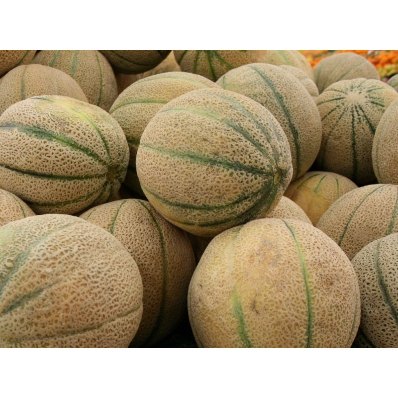 American Muskmelon Iroquois Cantaloupe Fruit Seeds The plant grows in tropical areas and needs extended warm temperatures as the growing period extends for a long time. american muskmelon iroquois cantaloupe fruit seeds